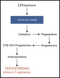 PROCESO TESTOSTERONA