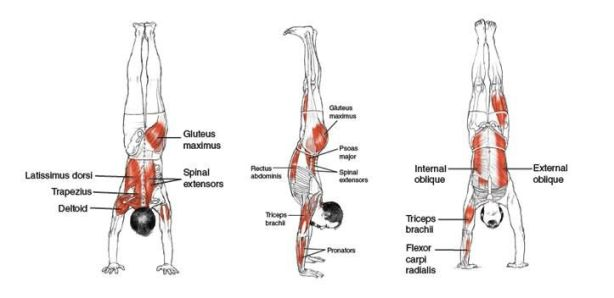 Músculos involucrados con el ejercicio de parada de manos (handstand) –calistenia-, muscles involved in the handstand exercise –calithenics-bodyweight training-