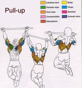 Músculos involucrados con el ejercicio de la elevación en barra (dominada o pull up) –calistenia-, muscles involved in the pull up exercise –calithenics-bodyweight training-