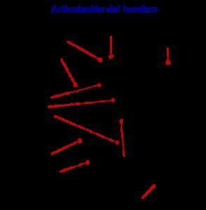 DIAGRAMA DE LA ARTICULACION DEL HOMBRO - MANGUITO ROTADOR