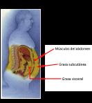 Grasa visceral, grasa subcutánea, músculos del abdomen, ubicación de