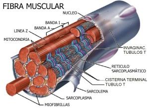 FIBRA MUSCULAR, HIPERTROFIA SARCOPLASMÁTICA O HIPERTROFIA MIOFIBRILAR, musculos grandes y debiles, musculos pequeños y fuertes